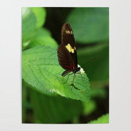 Doris Longwing Poster