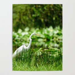 Great Egret in a Green Field Poster