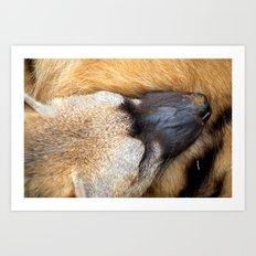 Sleeping Aardwolf Art Print