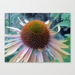 #406 Echinacea angustifolia  house  bitterroot mt macro  BITTERROOT MT Canvas Print