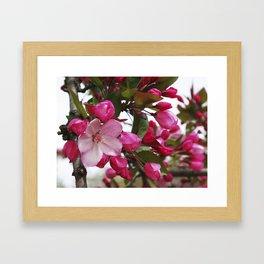 Spring blossoms - Strawberry Parfait Crabapple Framed Art Print