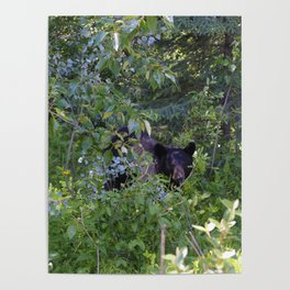 Mother bear hides in the trees- Canadian Rocky Mountains Poster