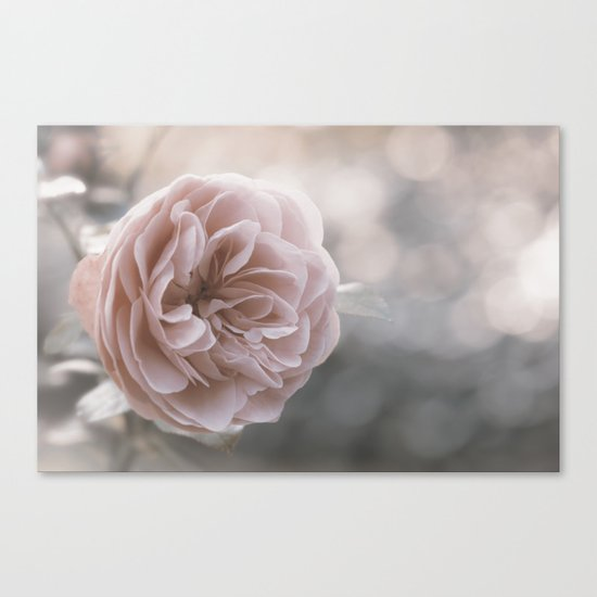 The last Roses - Pink English Rose at Backlight - Flowers Canvas Print
