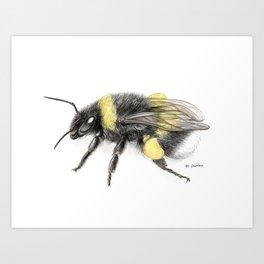 White-tailed bumblebee Art Print
