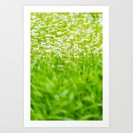 Blossom Valley: Chamomiles Art Print