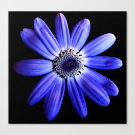 Blue gerbera Canvas Print