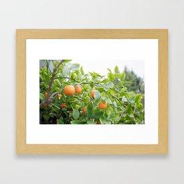 tiny oranges (clementines?) (kumquats?) Framed Art Print