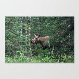 Alaskan Moose Canvas Print
