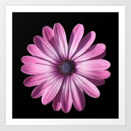 Spectacular African Daisy Isolated On Black Art Print