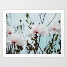 Matilija White Poppies Art Print