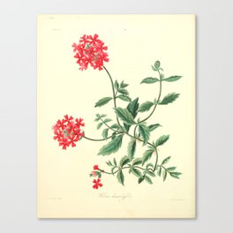 Roscoe, Margaret (1786-1840) - Floral Illustrations of the Seasons 1831 - Verbena Chamaedrifoli Canvas Print