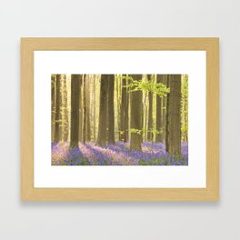 Blooming bluebell forest of Hallerbos in Belgium in morning sunlight Framed Art Print