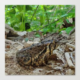 Big Toad On A Path In The Forest Canvas Print