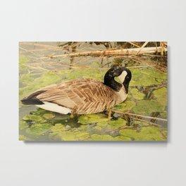 Canada Goose Feeding on Algae Metal Print