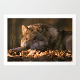 A wolf lying in the evening sun Art Print