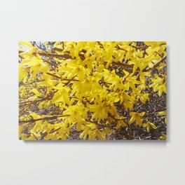 Forsythia of The Spring Metal Print