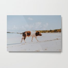 The Beach Pig / Exuma, Bahamas Metal Print
