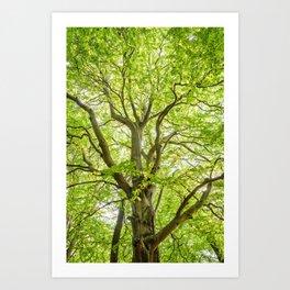Beech Tree Art Print