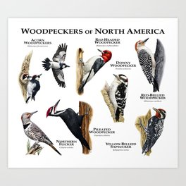 Woodpeckers of North America Art Print