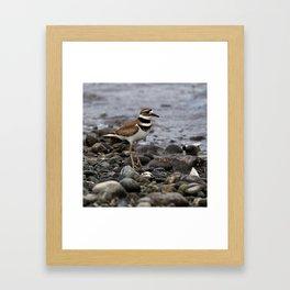 Killdeer on Rocky Shore Framed Art Print