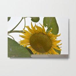 Gigantic Sunflower Metal Print