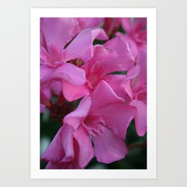 Closeup Shot of Pink Flowers on Oleander Shrub Art Print