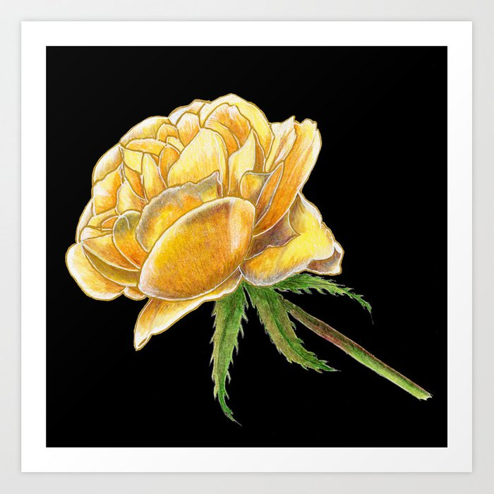 Yellow Rose on black Art Print