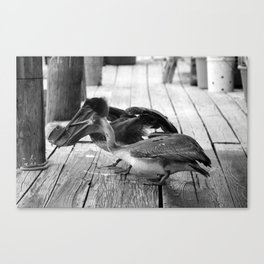 Juvenile Brown Pelican Tale 8 Canvas Print