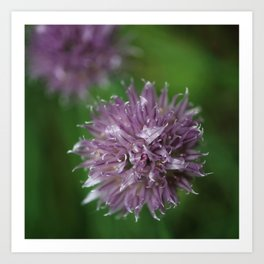 Purpe Chive Bloom Art Print