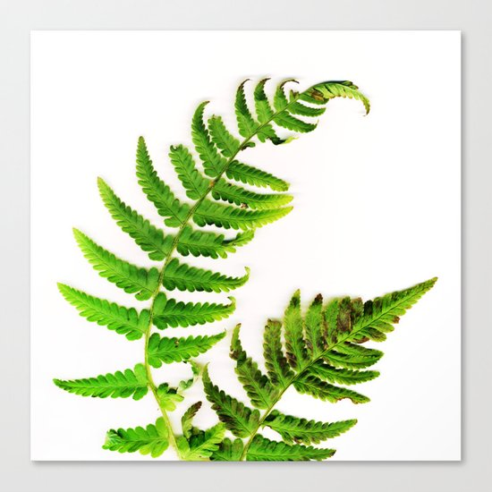 Fern on white Canvas Print