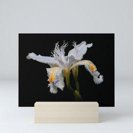 Elegant Iris Japonica / Fringed Iris Flower Mini Art Print