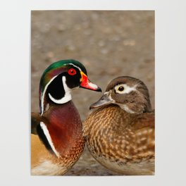 A Touching Moment Between Wood Duck Lovebirds Poster