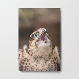Falcon Bird of Prey Photograph Metal Print