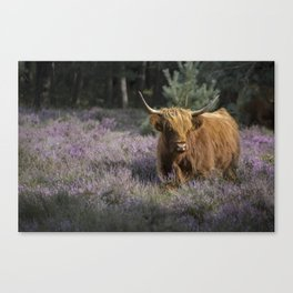Red highland cow in purple field Canvas Print