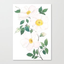 white wild Rosa rubiginosa watercolor Canvas Print