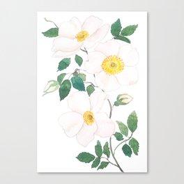 white wild Rosa rubiginosa watercolor Canvas Print