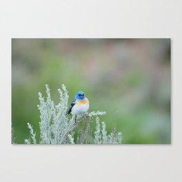 Lazuli bunting and big sage brush Canvas Print