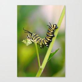 Monarch Caterpillar Canvas Print