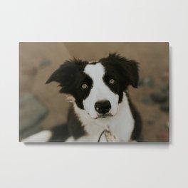 Border Collie Pup Metal Print