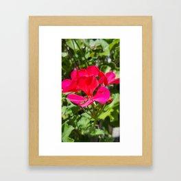 Hot Pink Geranium Blossom Framed Art Print