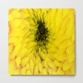 Fluffy Yellow Chrysanthemum Close-up  Metal Print