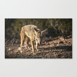 Gazing Coyote Canvas Print