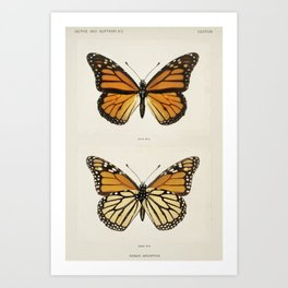 Monarch Butterfly (Danais Archippus) from Moths and butterflies of the United States (1900) by (1856-1937) Art Print