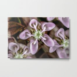 Milkweed flower close up Metal Print