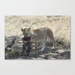 Lioness with half of a warthog Canvas Print