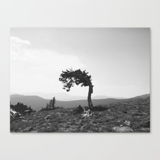 leaning tree Canvas Print