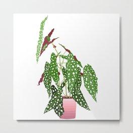 Polka Dot Begonia Potted Plant in White Metal Print