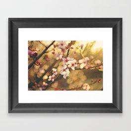 Cherry Blossoms at sunset Framed Art Print