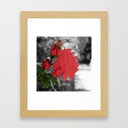 Roses, Color on B/W 1 Framed Art Print