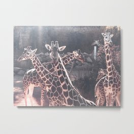 Giraffe Picture // Spotted Long Neck Graceful Creatures in Wildlife Preserve Metal Print
